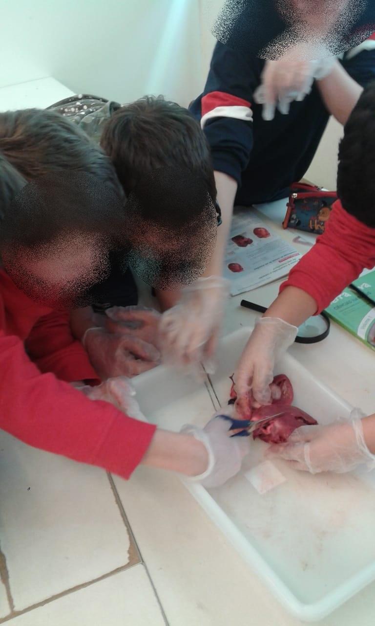 O sistema cardiovascular humano